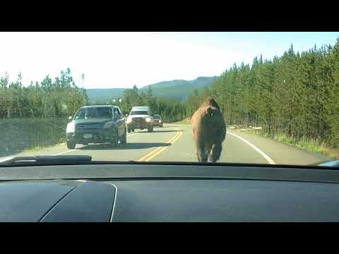 Funny Bison video at Yellowstone