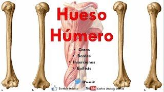 Gambar cover Anatomía - Hueso Húmero (Caras, Bordes, Cóndilo, Trocleas, Epicóndilos, Inserciones)