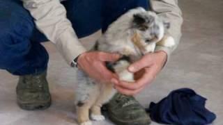 Toy Australian Shepherd pups for sale born 4/23/2014
