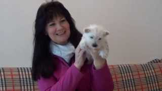 West Highland White Terrier Welpen Www.welpenvermittlung-hunde.at
