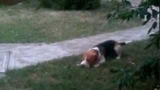 Beagle Kutya és Egy Béka :)