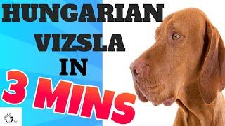 HUNGARIAN VIZSLA Dog Breed in 3 Minutes (2021)!