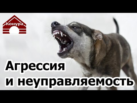 Собака проявляет агрессию, Собака неуправляемая, как это произошло и что с этим делать