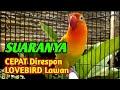 Burung Lovebird Fighter Ngetik Ngekek Panjang Suaranya Cepat Di Respon Labet Lawan  Mp3 - Mp4 Download