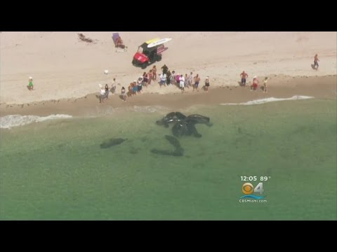 Mating Manatees Put On Frisky Show On Pompano Beach