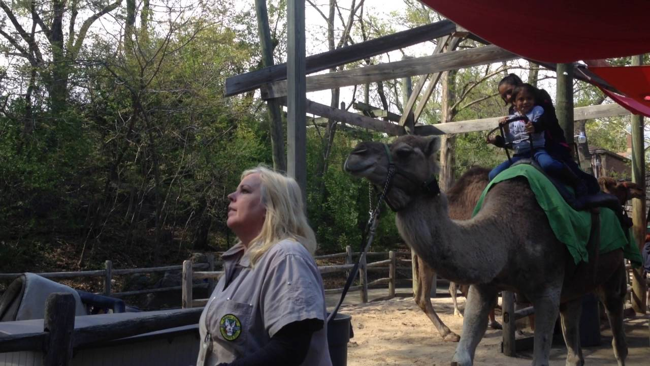 Camel Riding At Bronx Zoo New York City Youtube