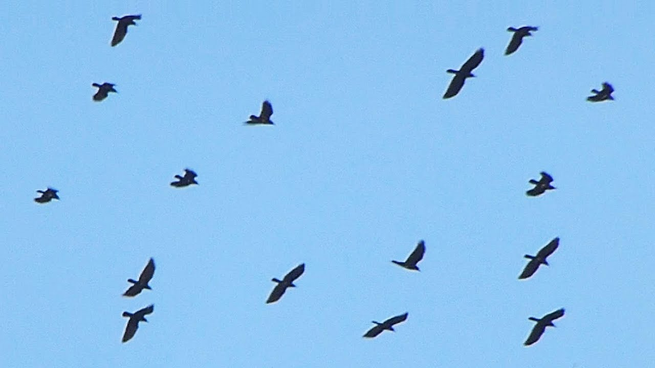Havran Polni The Rook Corvus Frugilegus Tahnouci Hejno Flock