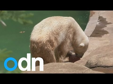 Africa's last ever polar bear dies 'from broken heart'