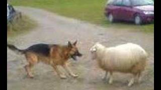 Repeat youtube video Dog VS Sheep