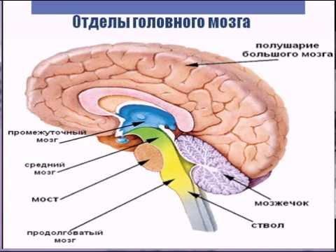 Строение головного мозга, значение и функции