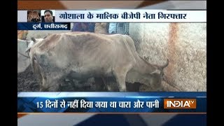 Chhattisgarh: 200 cows die of starvation at a shelter run by BJP leader