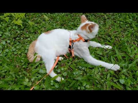 Turkish Van cat (Guh-Guh) goes for a walk