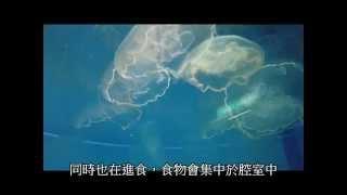 海月水母進食