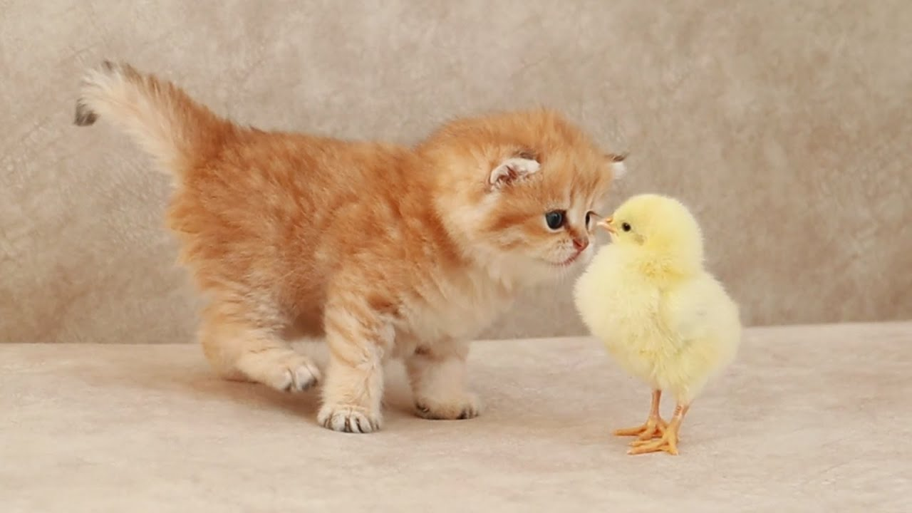 Kitten reaction to his new friend 🐥