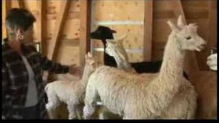 How to Care for Alpacas : Types of Alpaca Breeds