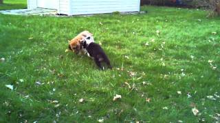 Playtime: Australian Shepherd Puppy Vs. Cocker Spaniel