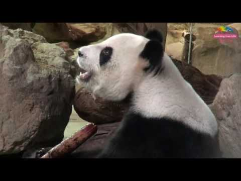 Panda Yuan Zai at Taipei Zoo enjoys some variety in her food