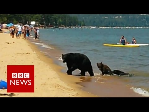 Bear Family Frolick On Lake Tahoe Beach Bbc News Youtube