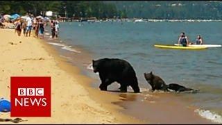 Bear family frolick on Lake Tahoe beach - BBC News