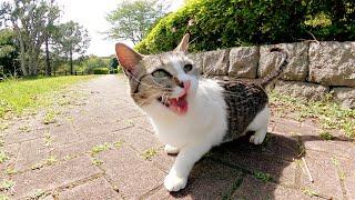 最初は警戒していたキジシロ猫が可愛い鳴き声で「一緒に遊ぼ!」と誘ってきた