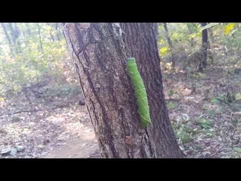 대형 애벌레