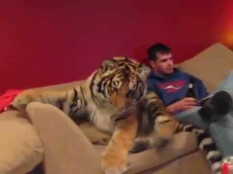 Harimau Binatang Peliharaan Di Rumah