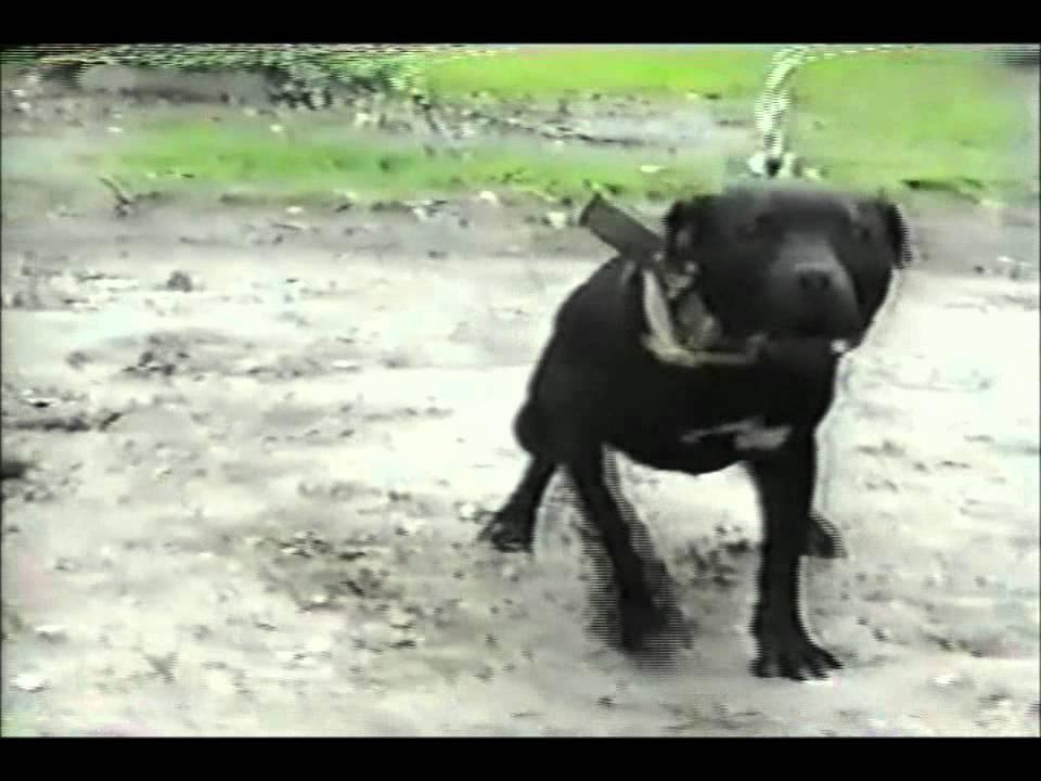 CH DOG MAN KENNEL'S SWAMPER (4XW)
