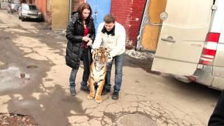 Миша Маслов. МЯСО? Людей обмануть можно, а вот тигра...!