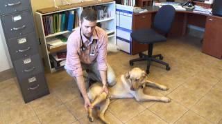 Passive Range Of Motion Exercises, Knee, Dog