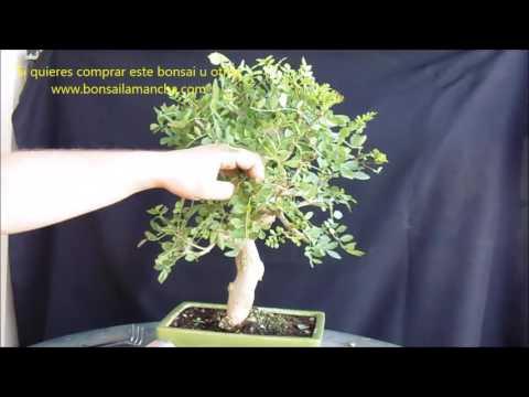 Pinching and pruning Bonsai Fresno