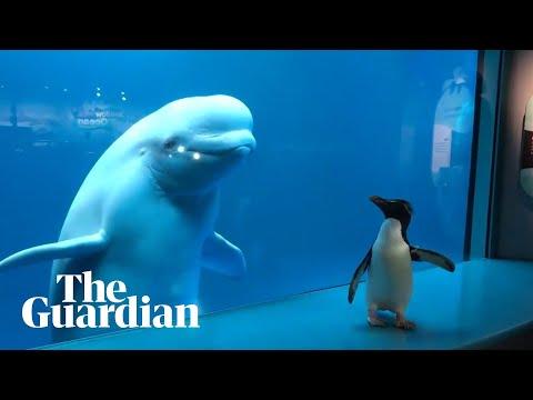 Penguin 'visits' Beluga Whales In Aquarium Closed Amid Coronavirus Crisis