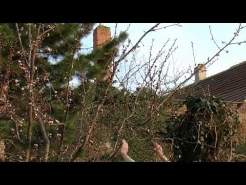 Řez ovocných dřevin - meruňka