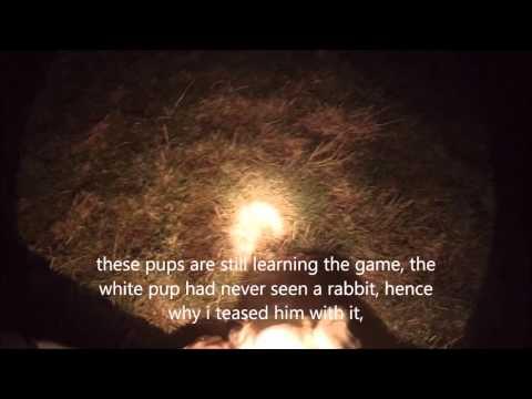 Lamping Rabbits With Saluki Grey Pups,