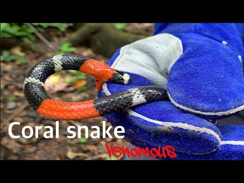 """Coral Snake! Why """"red Touches Black"""" Doesn't Work!