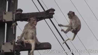 fearless Monkeys and power lines Lo...