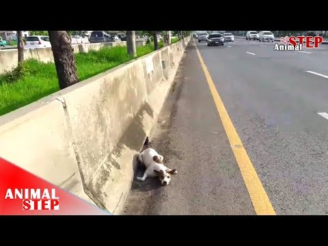 Scared Dog Stuck on Busy Road after Being Hit by Car, Now is Safe