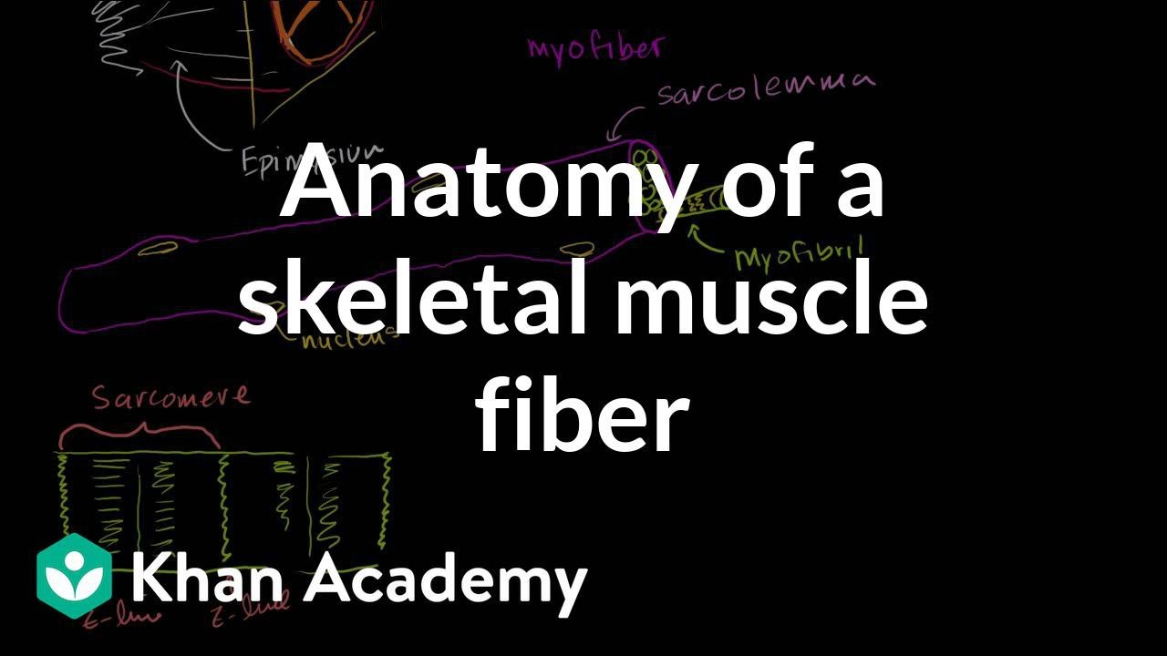 anatomy of a skeletal muscle fiber (video) | khan academy, Muscles