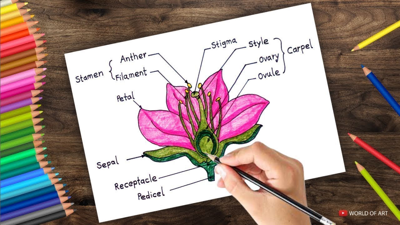 How to draw cross section of flower step by step - YouTube