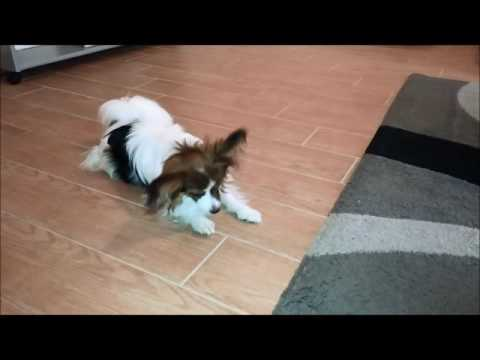 PAPILLON:  A CLEVER BREED – JOE'S TRICKS