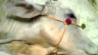 MoBi ka Bail Eid-ul-Azha 2011.3gp