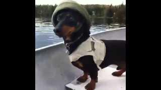 Crusoe The Celebrity Dachshund Loves Fishing! [vine Video]