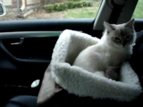 ragdoll kitten in the pet booster seat by solvit products floppycats youtube. Black Bedroom Furniture Sets. Home Design Ideas