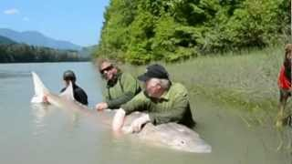 Giant Monster Fish - a Sturgeon 1100 lbs and over 12 feet!