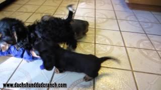 Josh And Dan - Mini Dachshund Puppies - Ddr