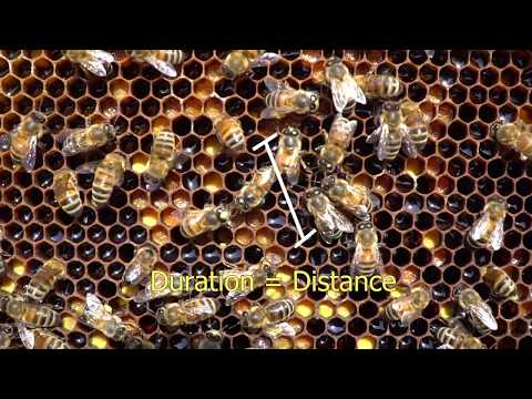 Honey Bee Waggle Dance Explained! Dance Party!