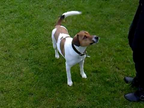 parson jack russell terrier - tricks