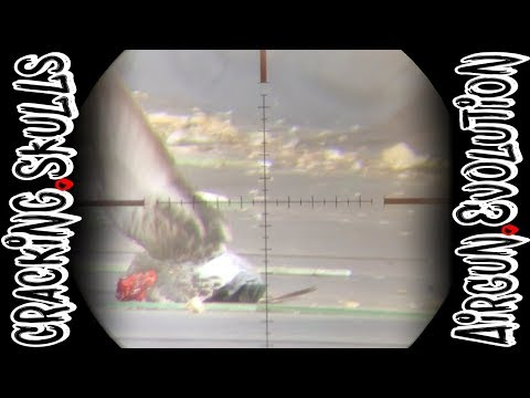 Headshot, Headshot, Headshot | Pigeon Pest Control | Airgun Evolution