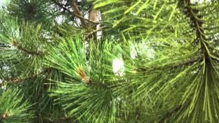 Pinus Nigra Nigra - The Austrian Black Pine - Irish Tree Centre Review