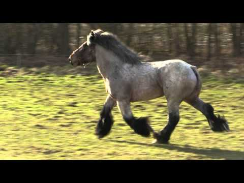 Belgian Draft Horses-a beautiful stallion at full trot and gallop