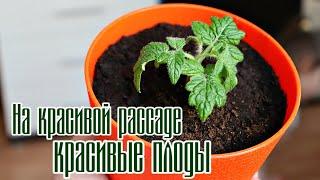 Новички сажайте помидоры в марте только так пышная рассада утрет нос даже бывалым! Рассада посадка.